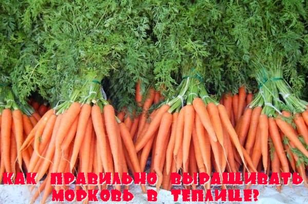 Как правильно выращивать морковь в теплице?