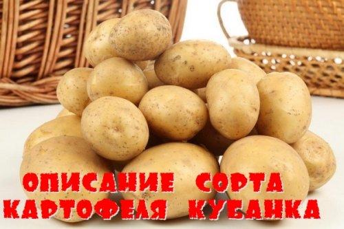 Описание сорта картофеля Кубанка