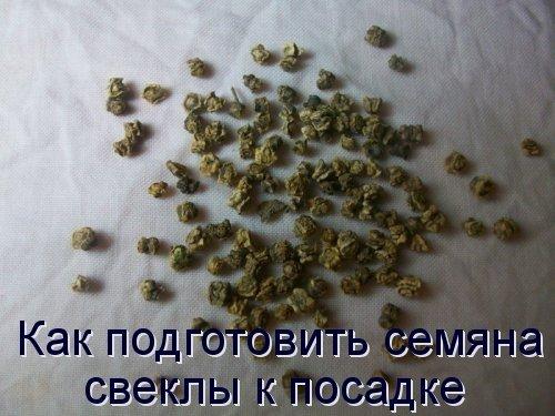 Как подготовить семяна свеклы к посадке