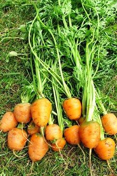 морковь пармекс