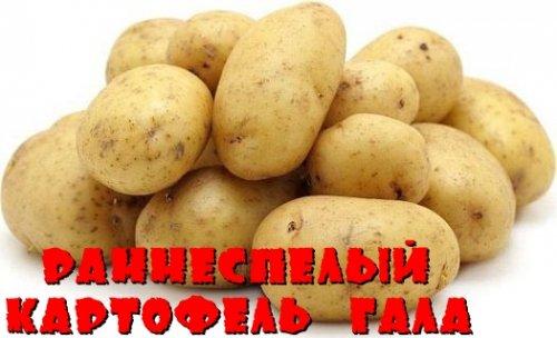 Раннеспелый картофель Гала