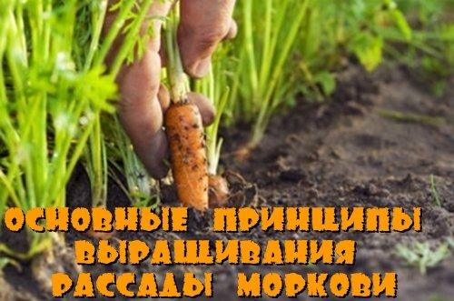 Основные принципы выращивания рассады моркови