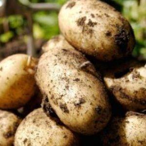фото картофеля Аврора