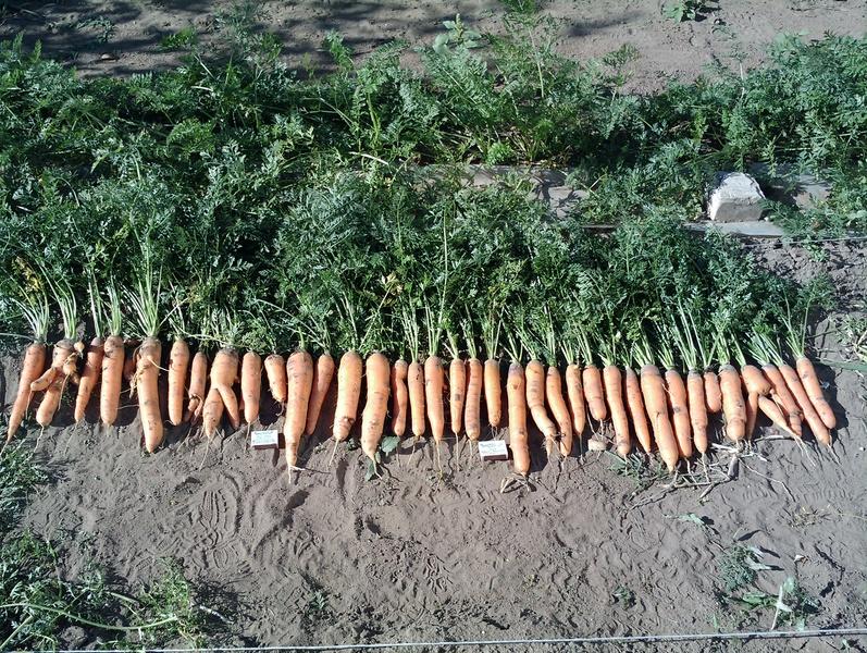 морковь самсон описание