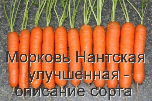 Морковь Нантская улучшенная - описание сорта