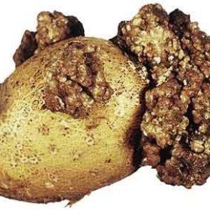 заболевания картофеля