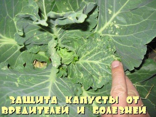 Защита капусты от вредителей и болезней