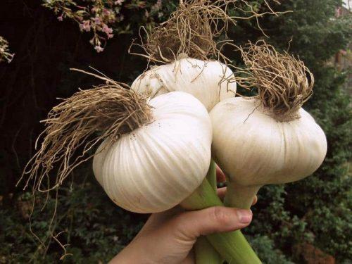 Специфика выращивания чеснока Гулливер