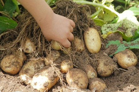 сбор урожая картофеля удача