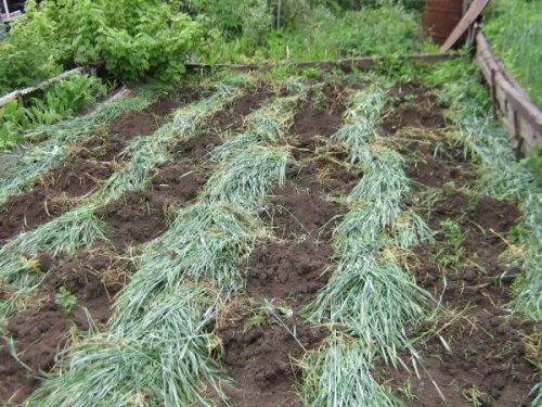 какие сидераты сеять для картофеля осенью