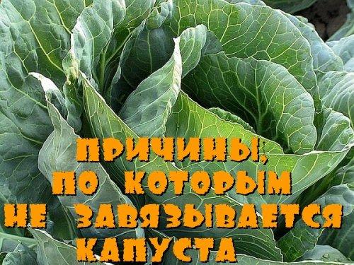 Причины, по которым не завязывается капуста