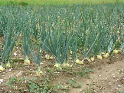 выращивание лука купидо