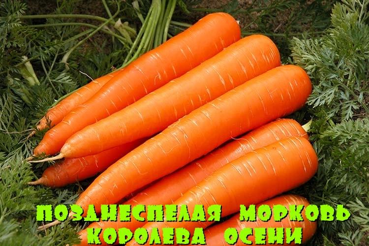 Позднеспелая морковь Королева осени