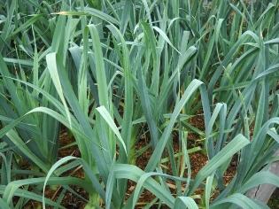 выращивание лука-порея карантанский