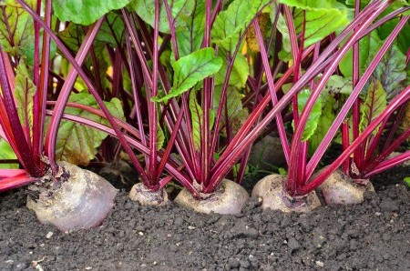 выращивание сорта свеклы Египетская