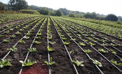 как посадить пекинскую капусту правильно