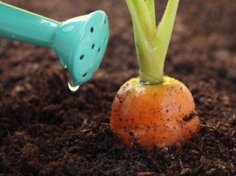 Морковь выращивание и подкормка 594