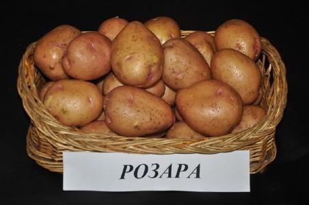 Урожай картофеля Розара
