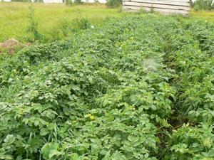 какие сидераты лучше посеять весной под картошку