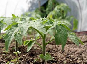 выращивание сорта дар заволжья
