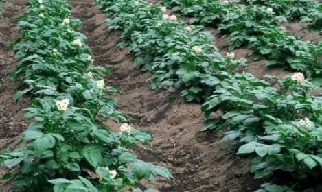 кусты картофеля удача
