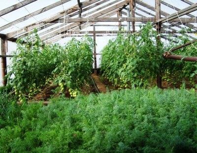 морковь в теплице с помидорами