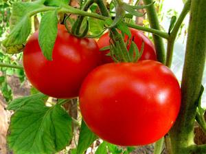 сорт томатов дар заволжья