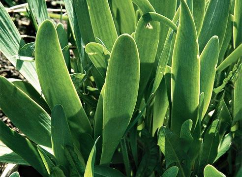 выращивание лука слизун