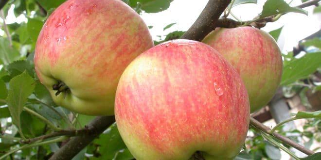 яблочки чемпион