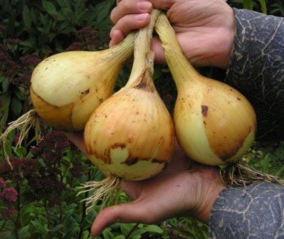 лук эксибишен урожай