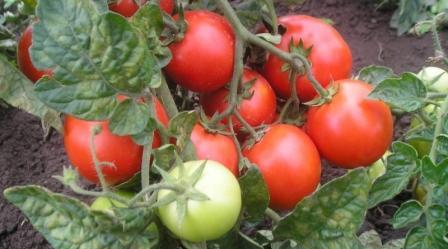 Томат Красная шапочка выращивание