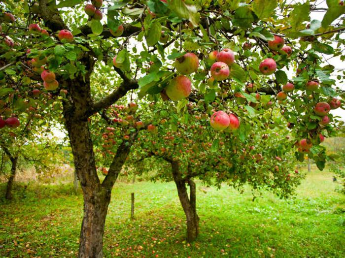 яблони чемпион