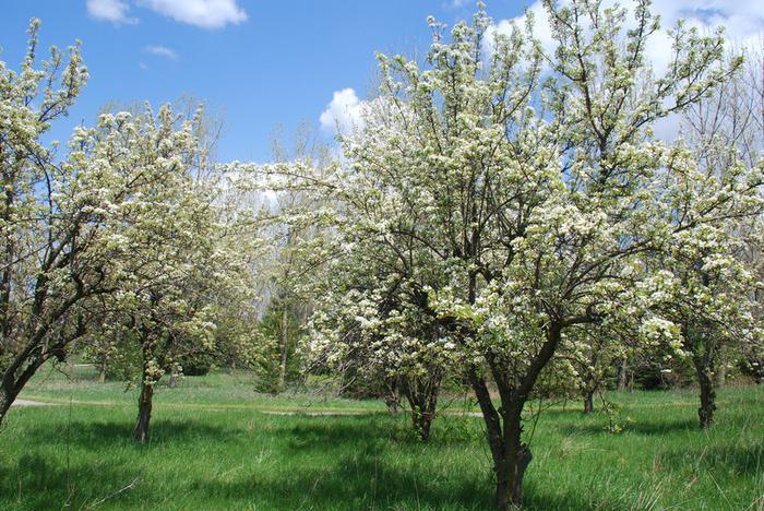 цветение яблонь чемпион