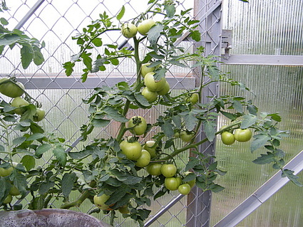 томат спрут выращивание