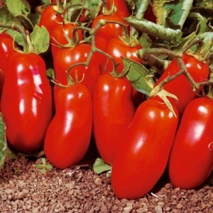 Сорт томатов Челнок