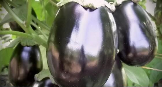 как вырастить баклажаны в сибири