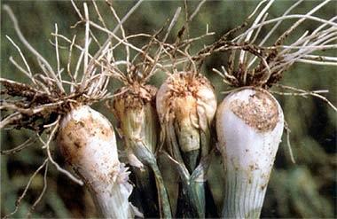луковицы пораженные луковой мухой
