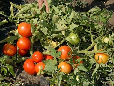 Томат Бобкат выращивание