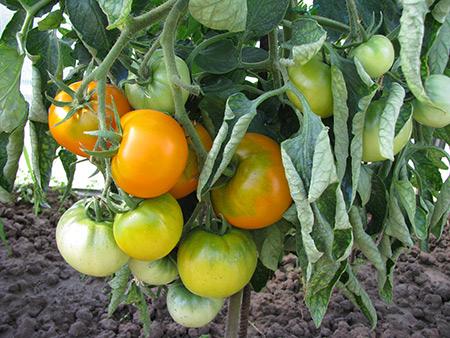 выращивание томатов хурма