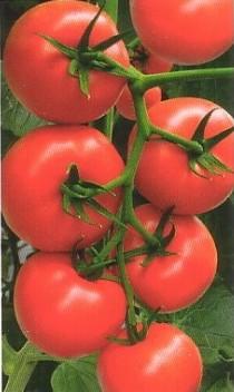помидоры благовест