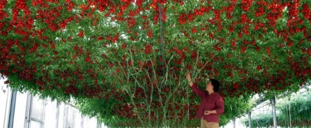 томат спрут дерево