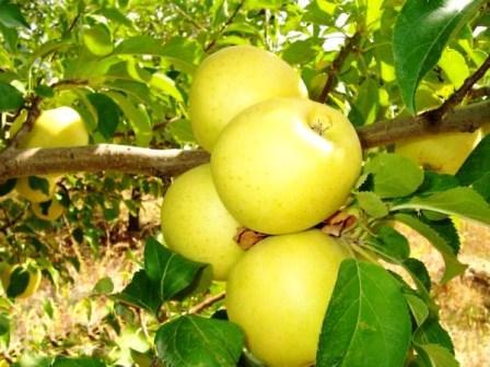 Яблоня Голден Делишес урожай