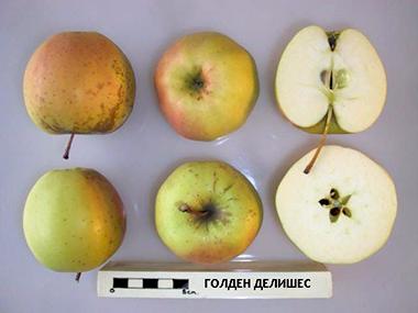 Яблоня Голден Делишес характеристика
