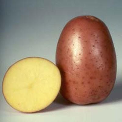 сорт картошки белла роса