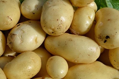 семенная картошка импала