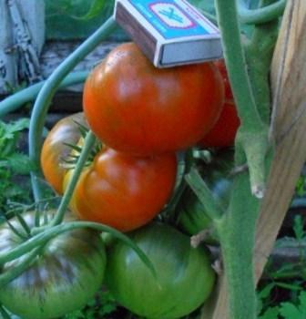 томат король гигантов урожай