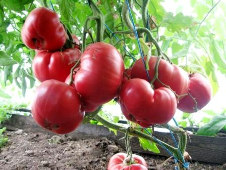 томат розовый мед выращивание