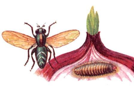 луковая муха стадии развития