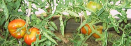 томат король гигантов выращивание
