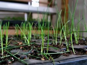 выращивание лука севок на подоконнике